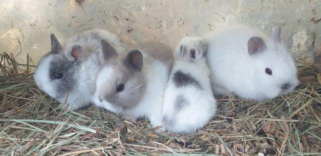 Coelhinhos anões mini holandês/mini toy, e teddy