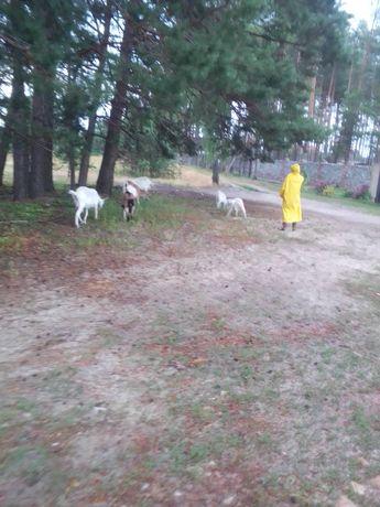 Продам породисті кози
