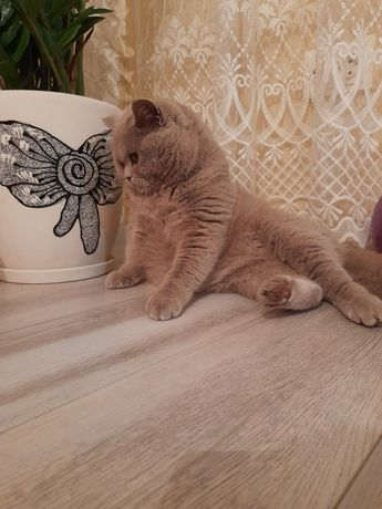 Кіт британець чистокровний запрошує киць.ВЯЗКА