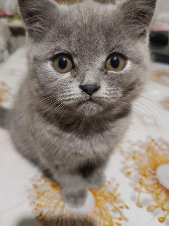Срочно продам кошку прямоухая девочка