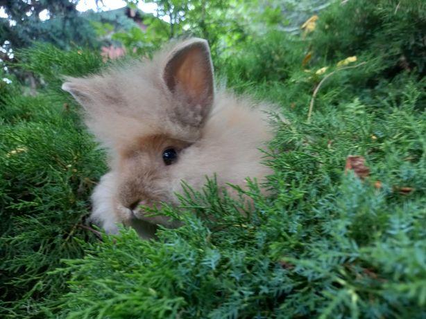B1 króliczek TEDDY KARZEŁEK miniaturka w typie lwa puszysty DŁUGOWŁOSY