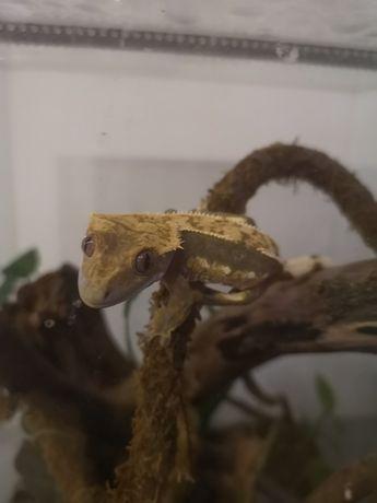 Gekon orzęsiony młody 6msc