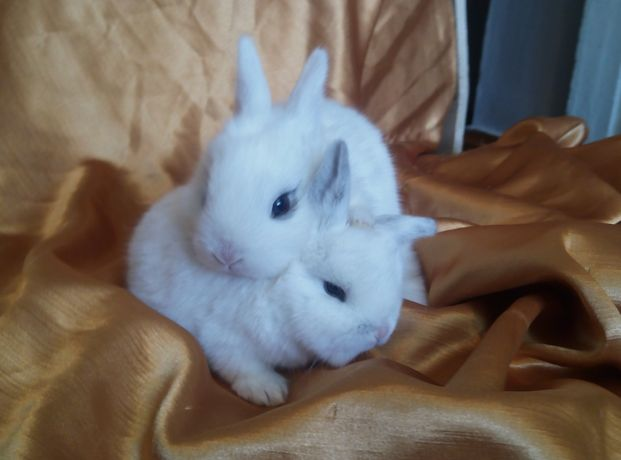 декоративные кролики миники гемерлины