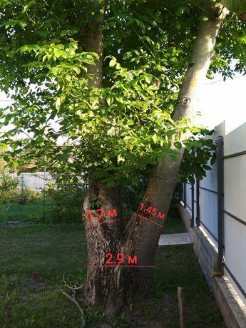 Горіх дерево самоспил