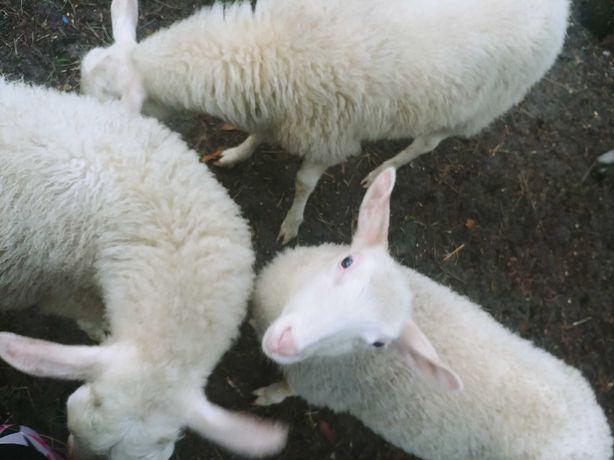 Sprzedam owce Fryzyjskie - tryki. owce mleczne