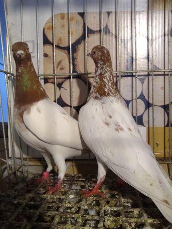 Gołębie ozdobne Budapeszty górnolotny