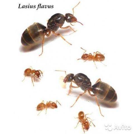 Lasius flavus—желтый луговой муравей колония муравьев для формикария