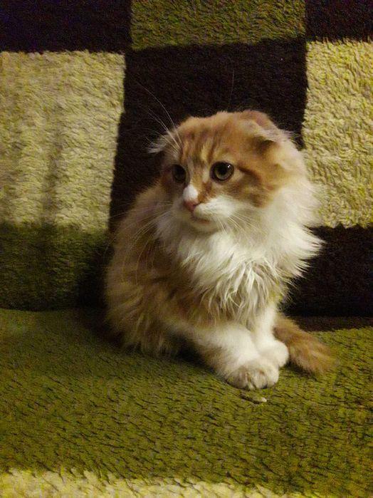 Срочно продам котика Киверцы - изображение 1