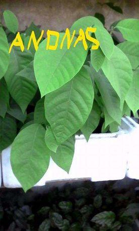 Plantas de Anona Chirimoya