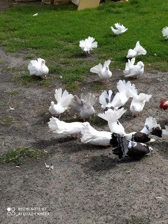 Piekne pawiki golebie ozdobne