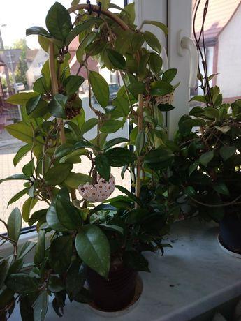 Hoya carnosa kwitnąca