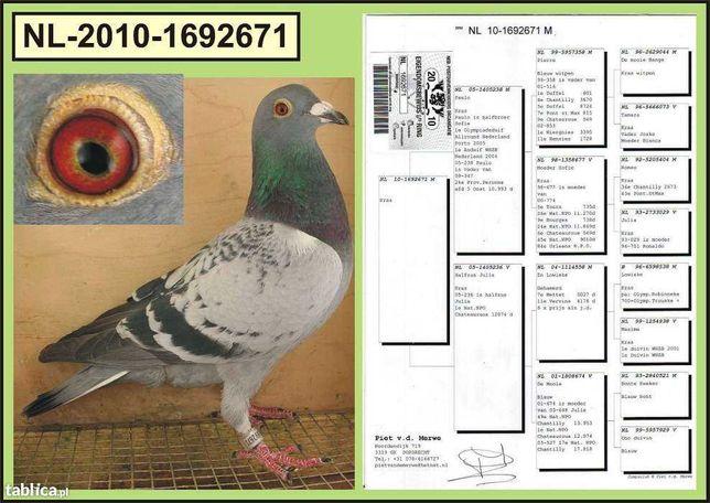 gołębie pocztowe -Piet v.d ,Merwe