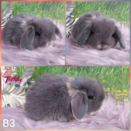 Królik króliczki  Karzełek Mini Lop. Samczyk B3