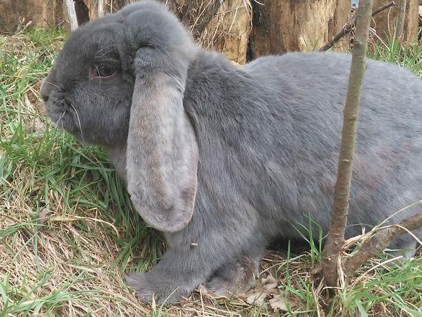 króliki młode