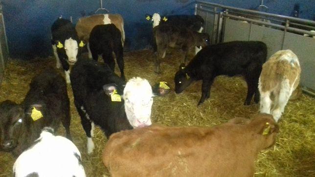 Sprzedam Jałówki mięsne oraz mleczne , byczki, dowozimy