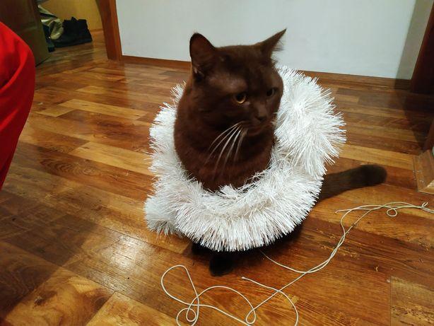 Вязка кот британец