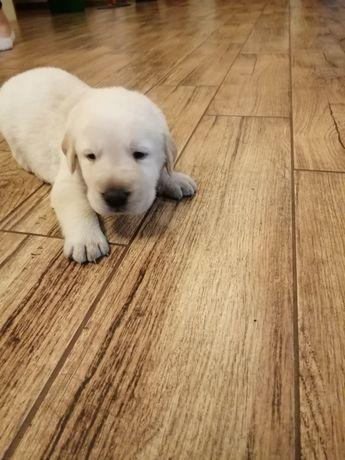 Labrador biszkoptowy. Piękne szczeniaki