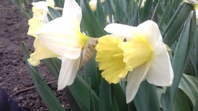 Нарцис ранній білий та жовтий