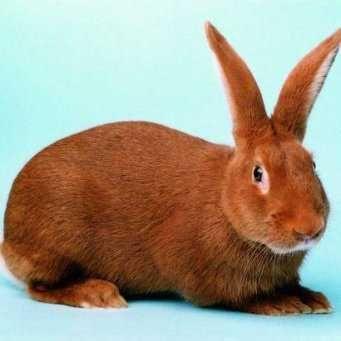 Кролик новозеландский красный, взрослая самка