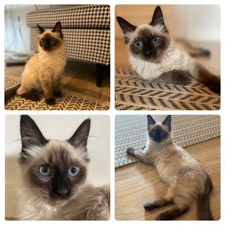 Pantufa gatinho para adopção responsavel
