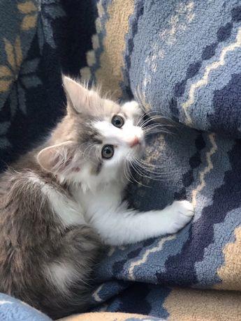 Милый котенок мальчик возраст 2 месяца