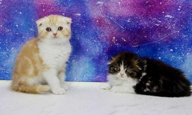 Самые лучшие шотландские котята по цене от 3000 грн и выше!