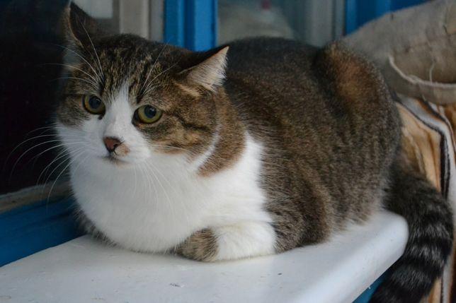 Полненькая серая кошка