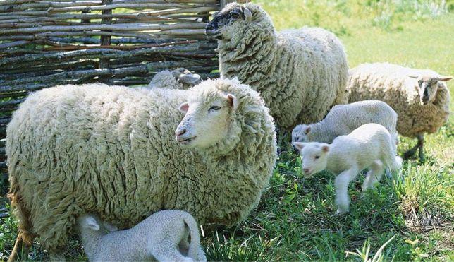 Овцы овцематки