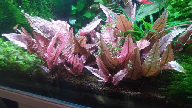 Cryptocoryne Flamingo rarytas rośliny