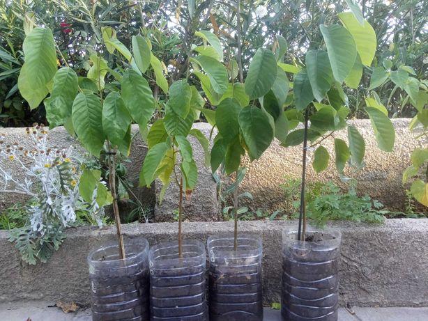 Árvore fruto tropical, anoneira, anona