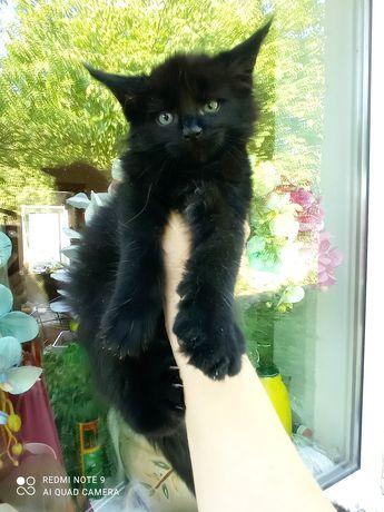 Чорный Чорная Рыжий Кремовый  котята мейнкун папа Чемпион