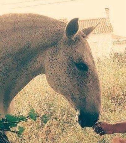 Égua lusitana muito tipica