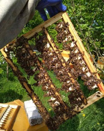 Бджолині матки! Продаю. Плодные Отповые цены! Степная Укр.