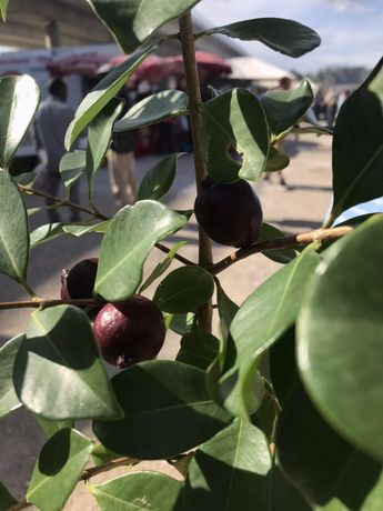 Araça de fruto vermelho  e fruto amarelo