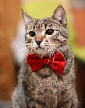 Ино-Кентий,стерильный подросток полосатый кот ласковый умный