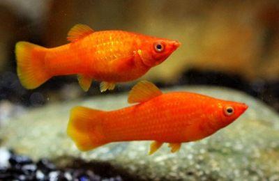 Molinezja Czerwona - Sklep Zoologiczny