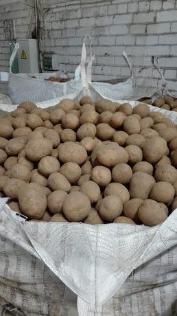 Ziemniaki Gala, Vineta, Bellarosa