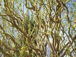 gałęzie świerk wierzba bukszpan dereń