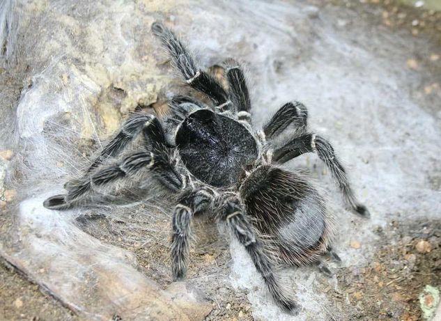 Самка Lasiodora parahybana  паука птицееда для новичков