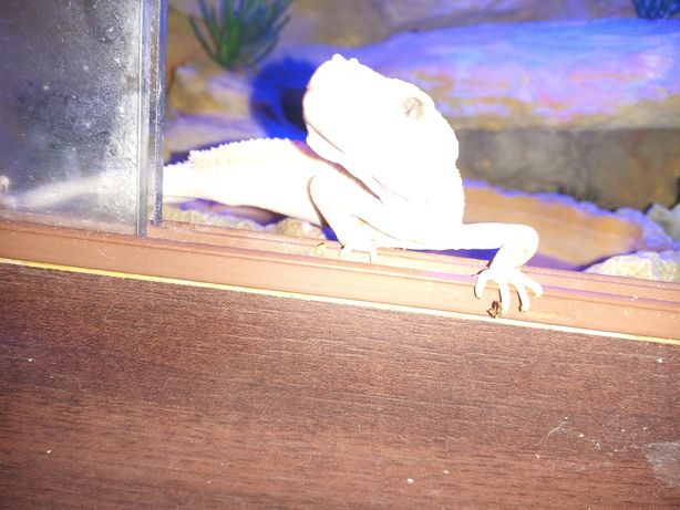 Gekon Lamparci wraz z Terrarium