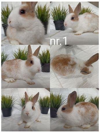 Królik miniaturka/ króliczek / króliki SPRZEDAM PILNIE samiczka