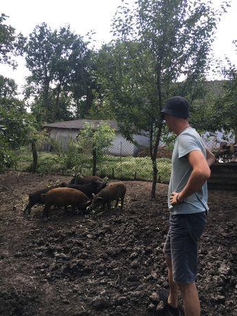 Свині мангал(еко продукт) натуральні корма:)