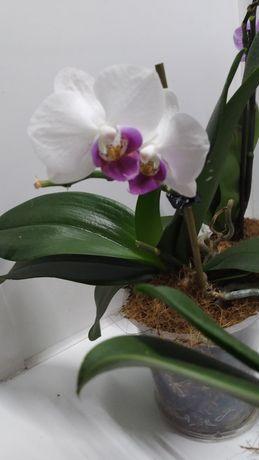 Орхидея миди с малиновой губой