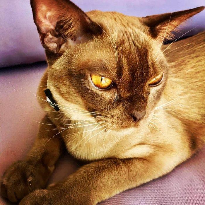 Koty kocieta burmskie zapowiedz
