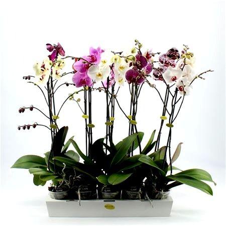 Орхидеи фаленопсис, растения и цветы оптом из Голландии, Азии, Европы