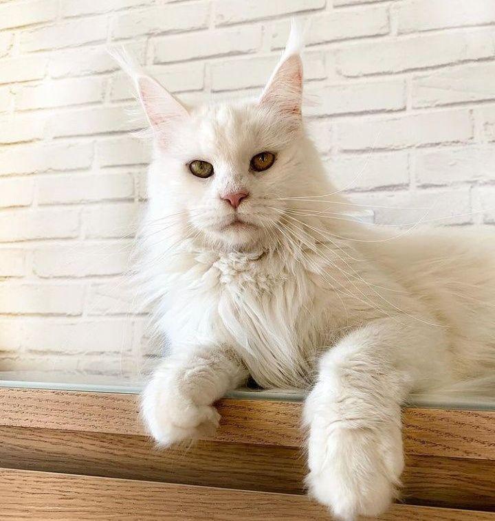 Мейнкун найкращі кошенята