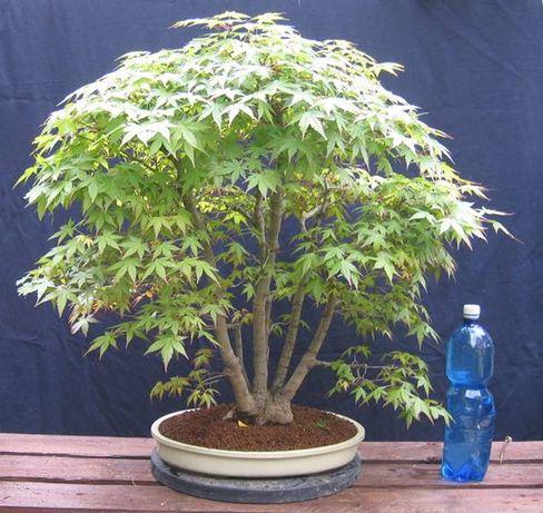 Bonsai Acer Palmatum Multitronco