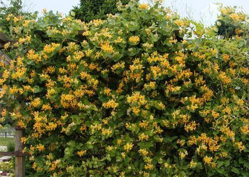 Лианы,вьющиеся растения:жимолость .горец,древогубец,глициния,фалопия