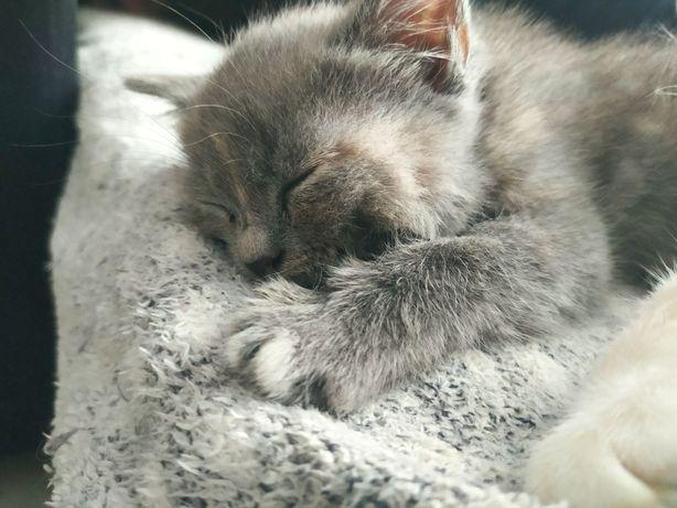 Котенок 2 месяца (девочка)