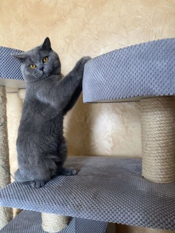 Kocur kot brytyjski krótkowłosy reproduktor krycie